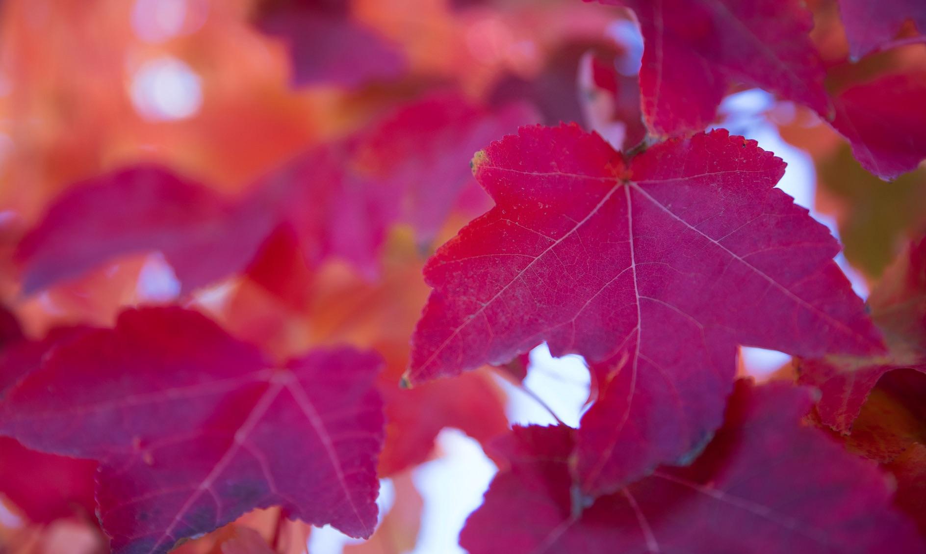 Prävention: rote Weinblätter gegen Krampfadern