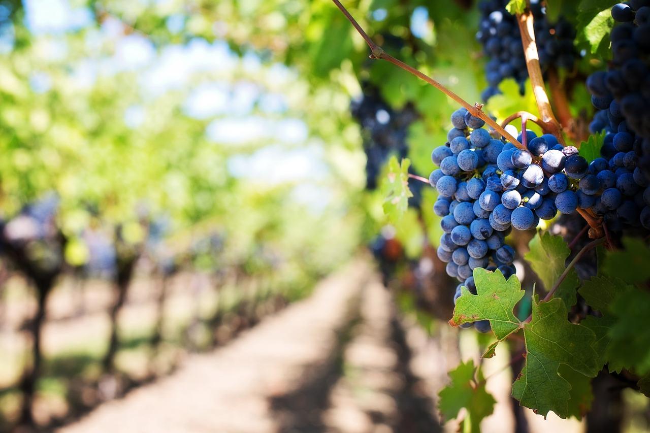 Traubenkernextrakt bietet eine Reihe gesundheitlicher Vorteile